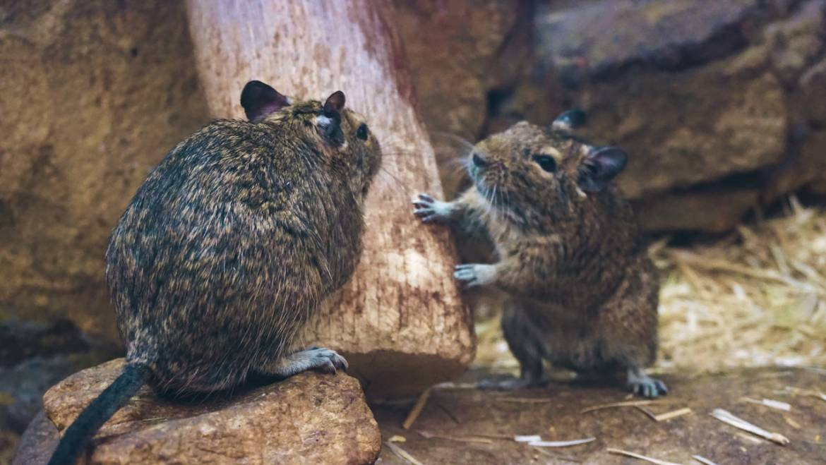 Journey of a Rodent: Why Some Areas Have More Rats